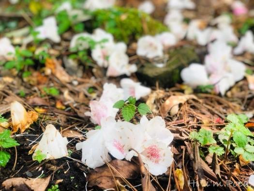 北二段的杜鵑花開
