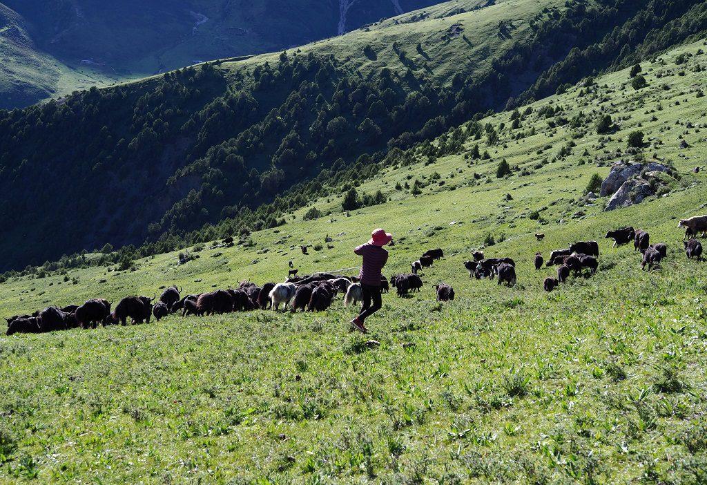 青藏高原的牛隻與放牧人
